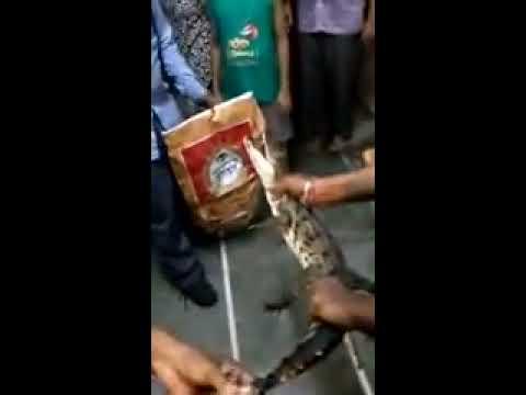 Crocodile found in a society At Vadodara Gujarat
