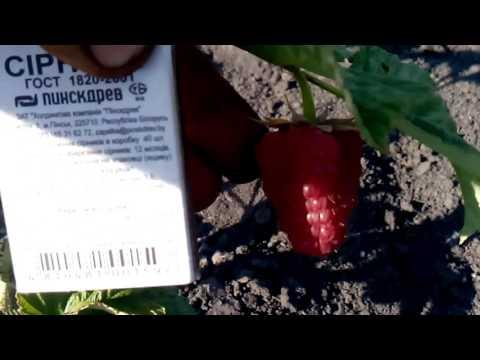 сигнальная ягода малины лячка и октавия