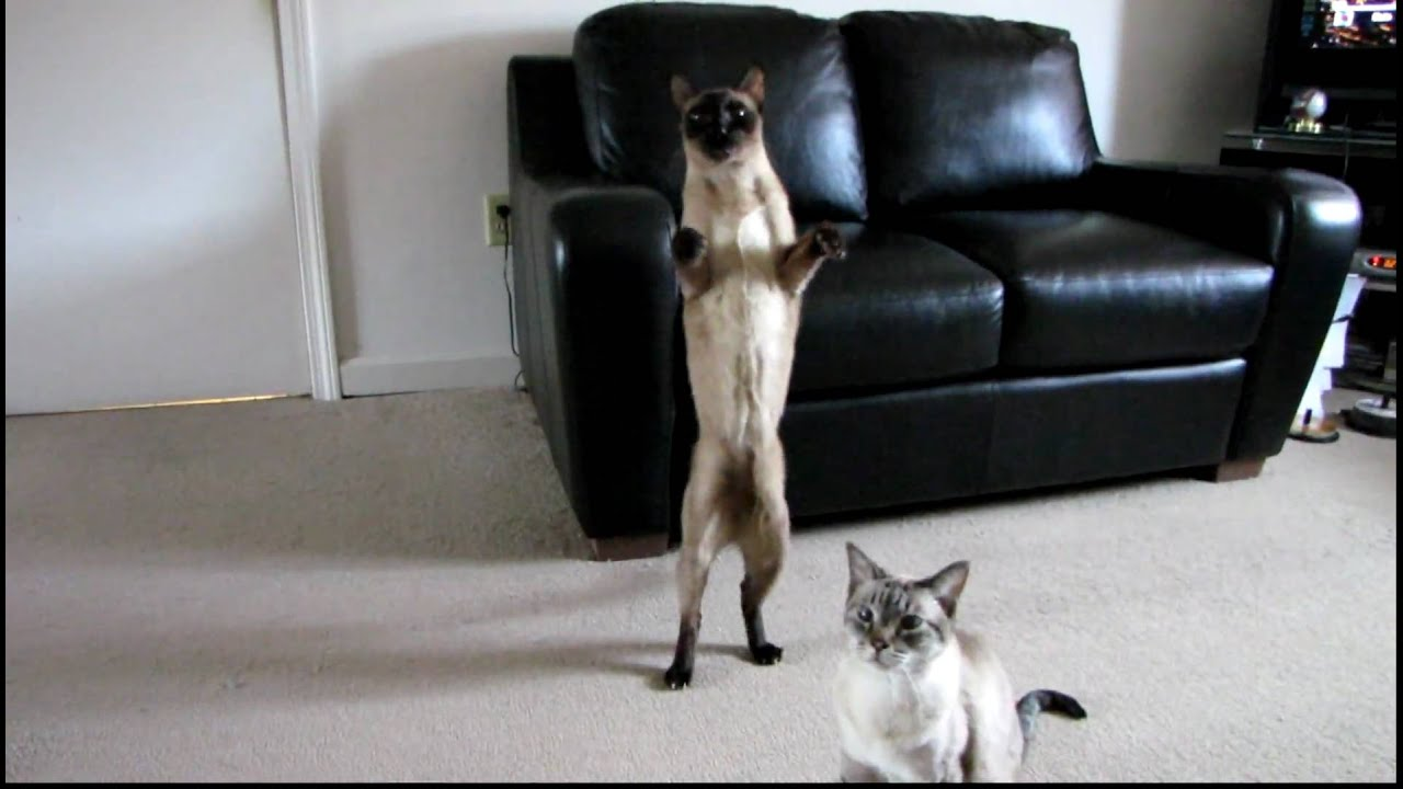 maxresdefault siamese cat standing upright and walking backwards across the