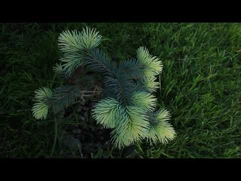 Моя коллекция хвойных растений май 2019