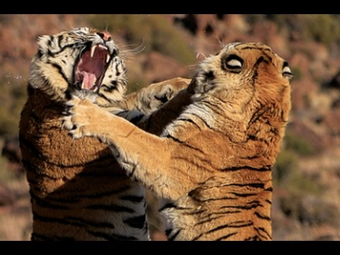 Tiger fight between two male tigers at Tiger Canyons, South Africa. Filmed by John Varty