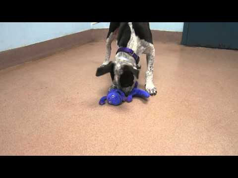 Adorable Cattle Dog/Pointer mix puppy boy Cassidy is full of fun!
