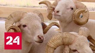 Российские животноводы собрались под Астраханью на выставку овец и коз