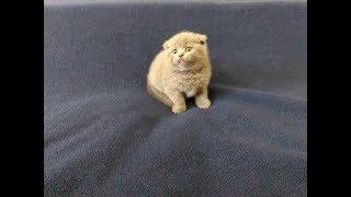 Шотландский вислоухий котёнок голубого окраса голубой мишка/Вислоухие котята/ девочка умывается №1