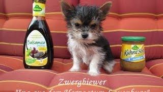 Kleinster Hund der Welt / Biewer-Yorkshire-Terrier