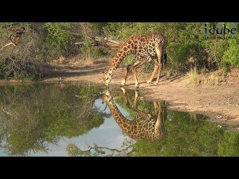 Giraffe Drinking In Reflection