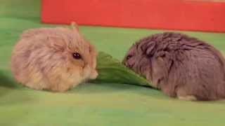 Cute Hamsters: Lettuce Tug