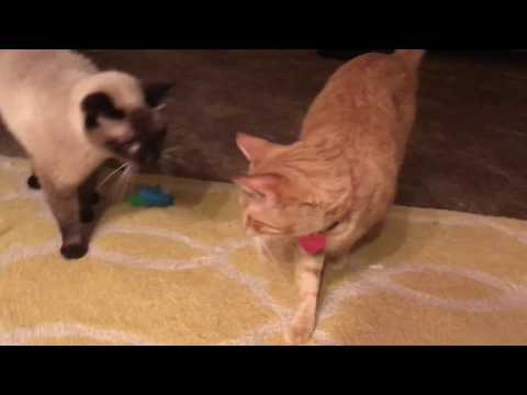 Siamese Cat Max and Female Orange Tabby Mya Playtime!