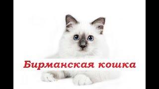 PetLife.....История.....Порода.....Бирманская кошка....Интересные факты....