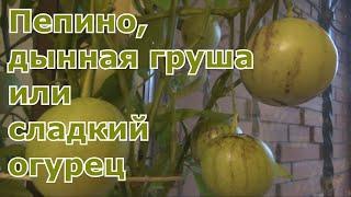 урожай пепино, дегустация плодов. Сохранение кустов пепино до следующего сезона. Экзот в Подмосковье