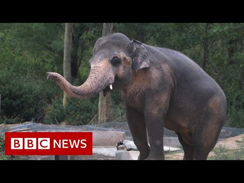 Setting free the world's 'loneliest elephant' - BBC News