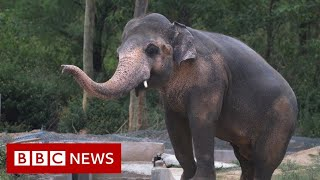 Setting free the world's 'loneliest elephant' - BBC News