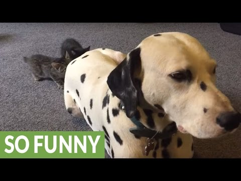 Kittens use Dalmatian's tail as new chew toy