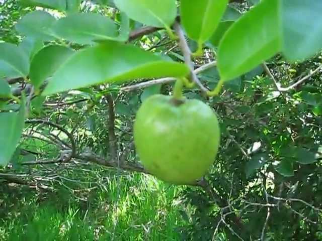 Annona glabra Pond Apple
