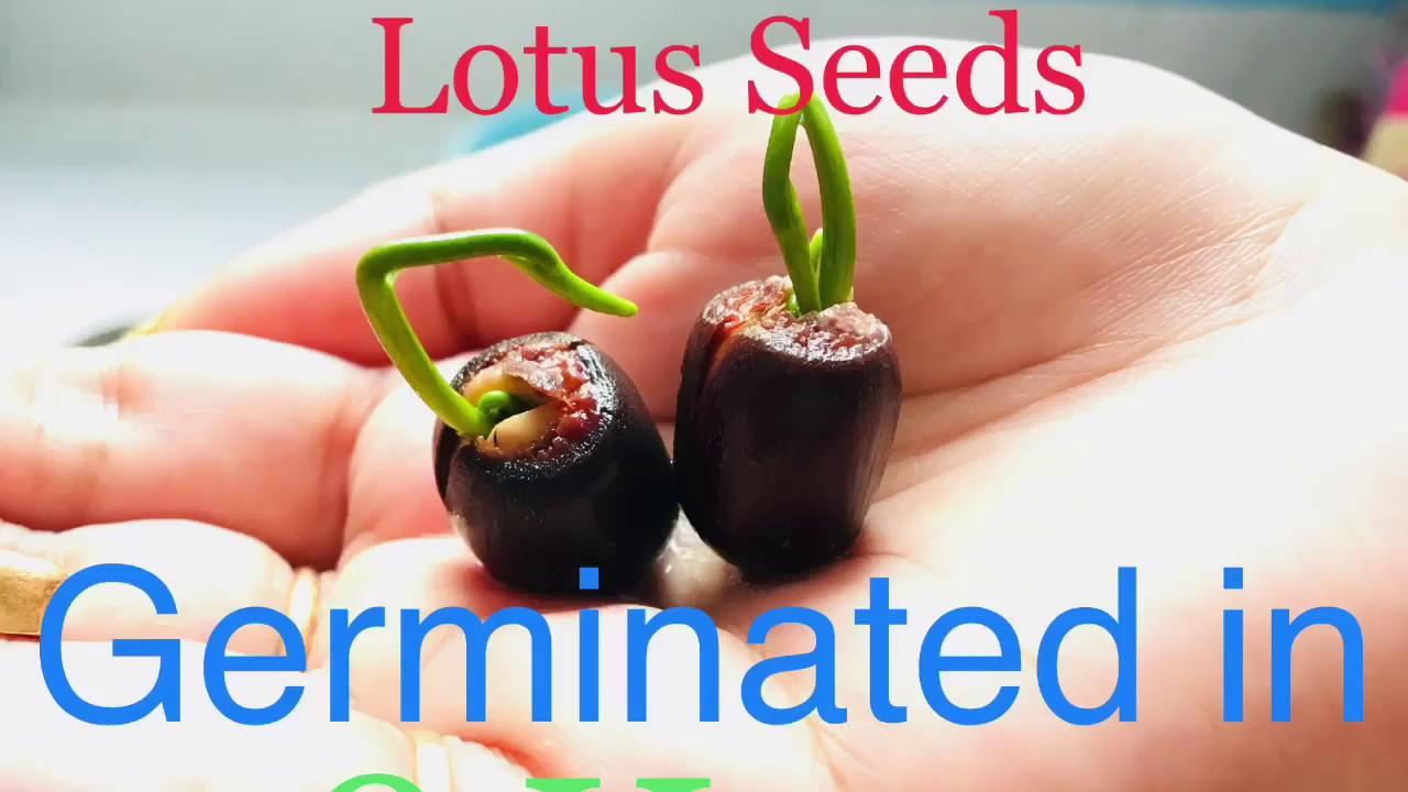 How To Germinate Lotus Seeds In 48 Hours Easyly Grow Water Lotus