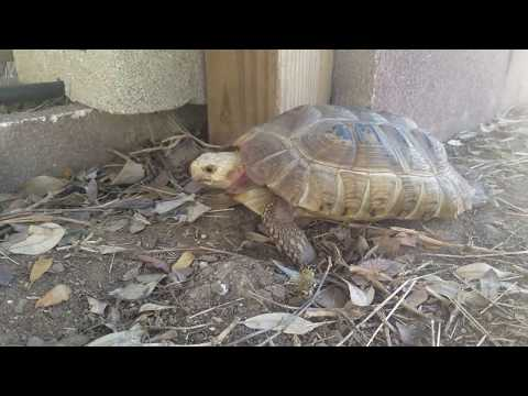 Elongated Tortoise lost use of back legs due to MBD