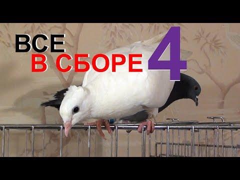 Вопрос: Почему домашняя собака гоняется за вороной , а на голубей не реагирует?