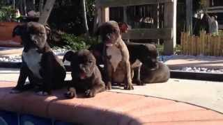 Staffordshire Bull Terriers Puppies For Sale (7 Weeks)