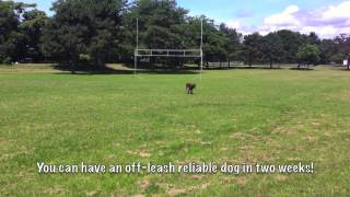 Max Reliably Off Leash In 1 Week | Tyler Muto Dogmanship