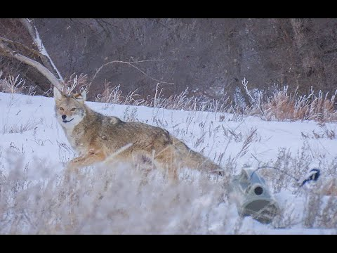 30 Coyotes Down With The 22-250 Suppressed.  (EPIC 4K KILL FOOTAGE)