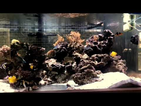 Heniochus Black & White Butterflyfish — Reef Aquarium Doctor & Nurse Fish