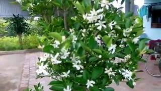 kĩ thuật chăm sóc quất ra hoa đúng thời điểm
