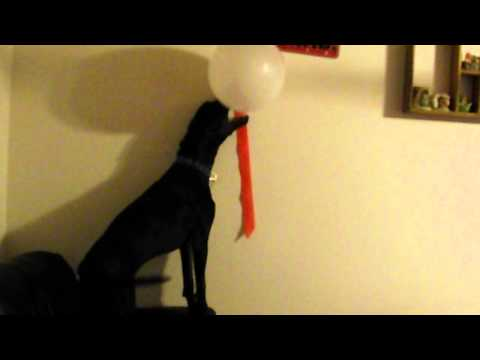 Dog scares himself With Balloon pop