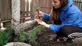 Как размножать и выращивать туи - YouTube