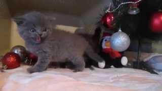 0662718218 Светлана Днепропетровск продам котят