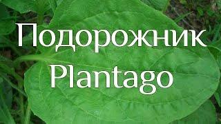 Подорожник. Plantago