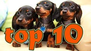 Perros Salchica TOP 10 Los videos más chistosos de perros salchicha