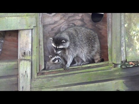 Cute baby raccoon in trouble, Mother to the rescue