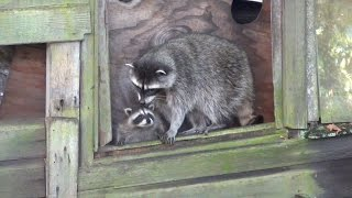 Cute Baby Raccoons in Trouble, Mother to the Rescue
