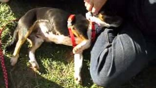 3-year-old Jack Russell-beagle Mix.wmv