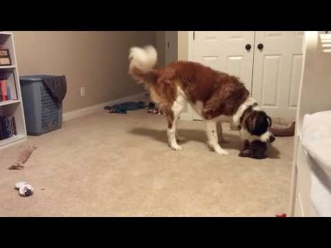 St bernard and weiner dog wrestling