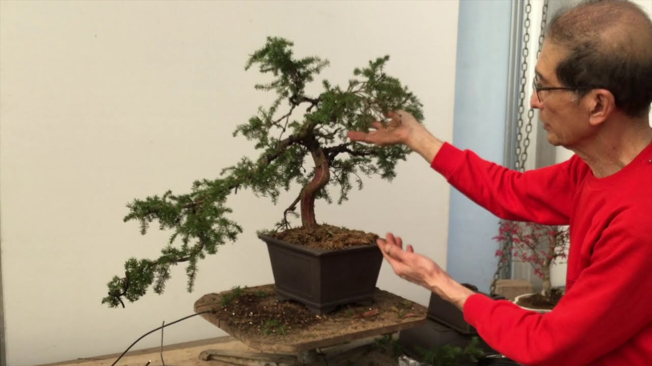 How To Create Bonsai From Needle Juniper Youtube
