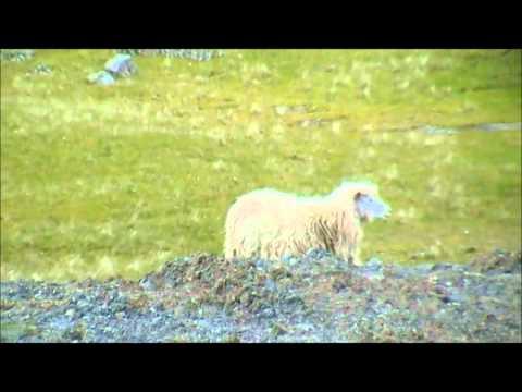 Sheep & Radio Mast, Eysturoy (Faroe Islands)