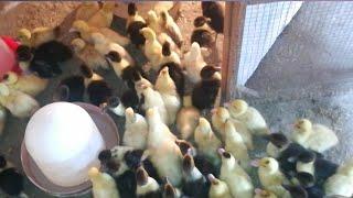 تربية البط المسكوفى فى الشتاء، وكمان بداية مشروع حلو قوى ونصايح مهمة للتربية فى الشتا