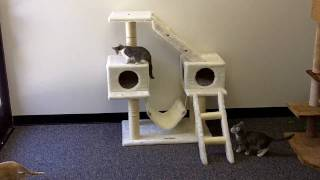 Cats Playing on Kitty Mansions Alaska Cat Condo