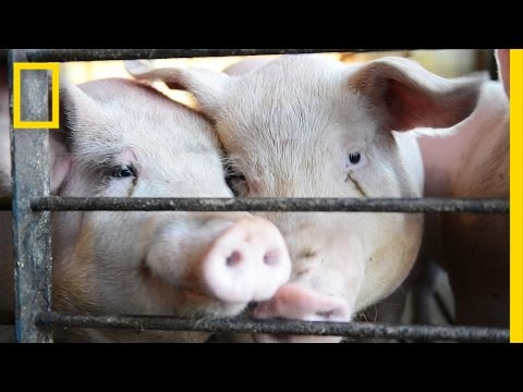 See A Farm Convert Pig Poop Into Electricity | National Geographic