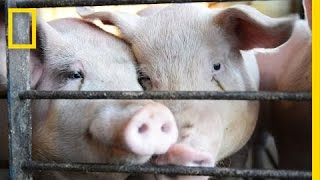 See a Farm Convert Pig Poop Into Electricity