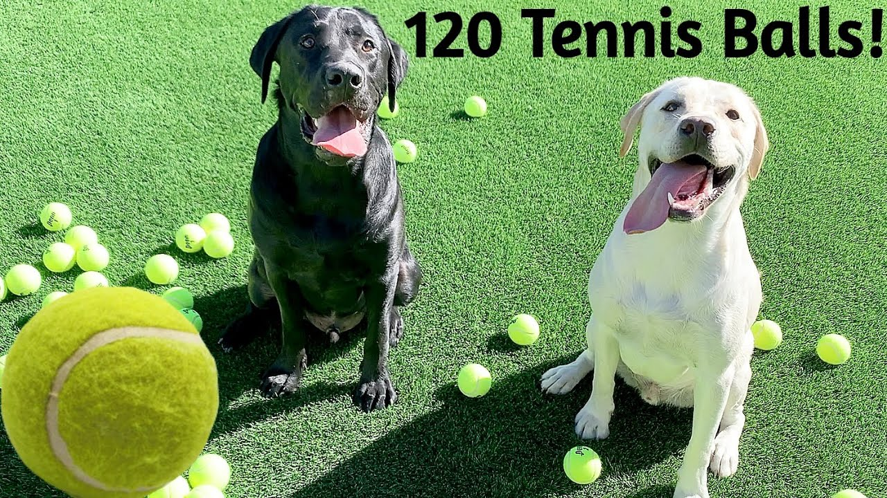 Labrador Brothers Play With 120 Tennis Balls! *ADORABLE*