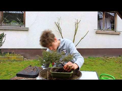 bonsai 004 chinesischer wacholder juniper wird umgetopft youtube. Black Bedroom Furniture Sets. Home Design Ideas