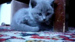 Котёнок Британец!