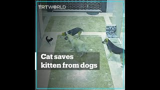 Brave cat chases off dogs to save her kitten