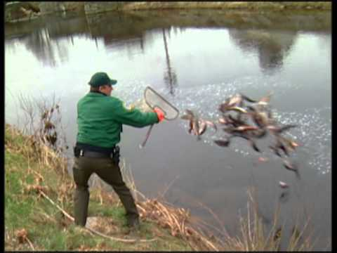Stocking Fish NH Fish and Game style - YouTube