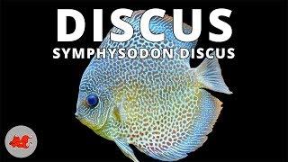 Discus - Symphysodon discus ✔