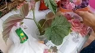 Размножение декоративно-лиственной бегонии черенками-мой опыт!
