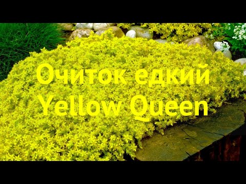 Очиток едкий Еллоу Квин. Краткий обзор, описание характеристик Sedum Acre Yellow Queen Yellow Queen