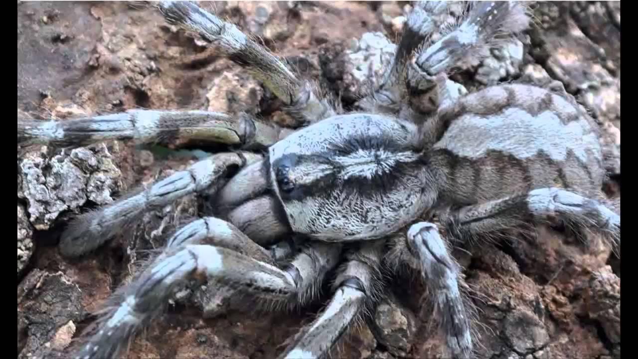 Nueva tarántula gigante, muy rápida y venenosa, descubierta en Sri ...